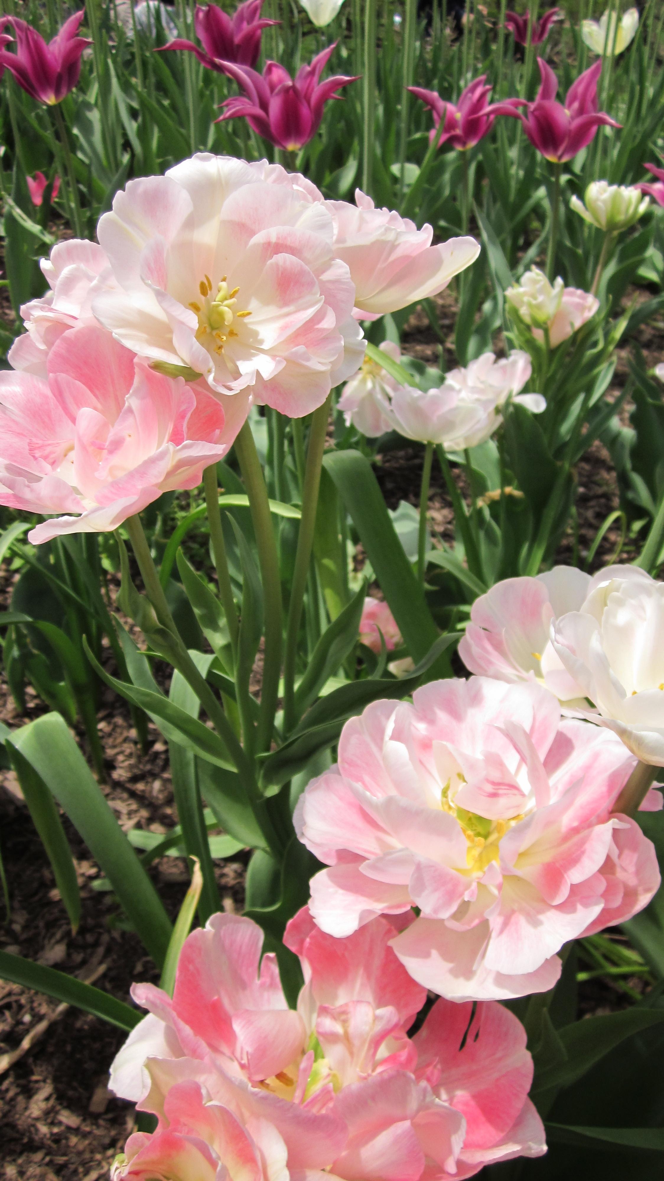 theresa seabaugh interiors, brooklyn interior designer, nyc interior designer, brooklyn botanic garden, tulips